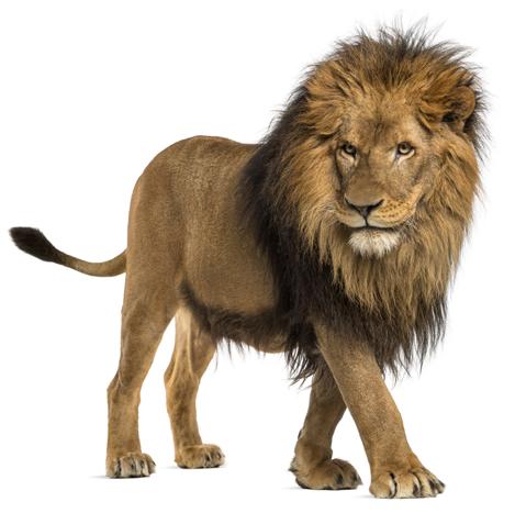 lion - ingredients Predatorus